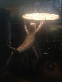 Caught my lizard doing this