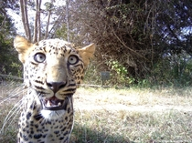 Cheetah selfie taken by remotely-activated cameras