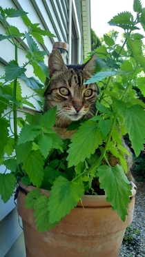 Chewy found where the catnip was being grown This is him sitting in the planter high as heck