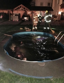Cows caught in illegal nighttime pool party