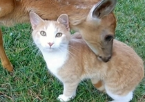 Deer adopts orphan cat and raises it as her own