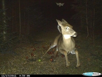 Deer running from a flying squirrel as caught on a trail camera