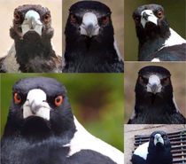 Did you know that Magpies have the face of a seagull on their beaks