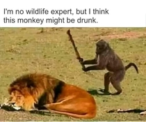 Do lions eat monkeys