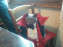 Dracula cat is here to drink your milk