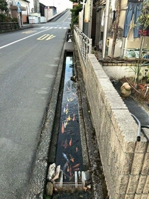 Drainage canal in japan is so clean they even have koi in it