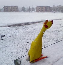 Dramatic Chicken being dramatic about the snow today