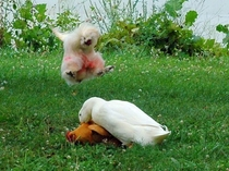 Duck is forcing himself on a lovely lady chicken Rooster goes into Ninja attack mode