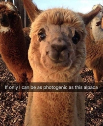 Even alpacas are better looking then me