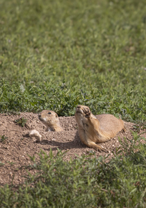 Even though my photo turned out blurry I got a kick out of this overly dramatic prairie dog
