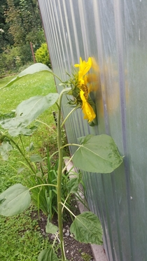 Even though my sunflower is blind it still enjoys looking at the sun