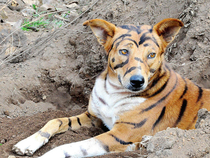 Exotic tiger for sale if you hear it bark dont worry its bilingual