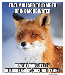 Flaw Finding Fox responds to the mallard that told him to remain hydrated while drinking