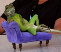 Forgive me if you have already seen a lizard reclining on a couch today