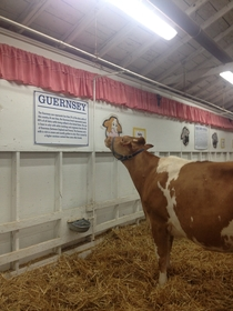Found this cow reading about himself at the fair today