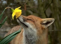 Fox Smelling a Flower