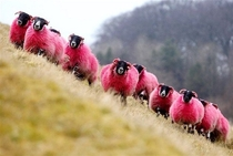 Freshly dyed sheep run in view of the highway near Bathgate Scotland The sheep farmer has been dying his sheep with non-toxic dye since  to entertain passing motorists