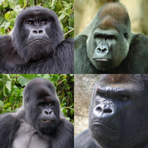 Gorillas always look like theyre about to meet their daughters new boyfriend