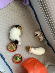 Gremlin Guinea Pigs - We rescued two females about a month ago Woke up this morning and my  year old cane running and said mom I didnt feed her after midnight or get water on her What happened