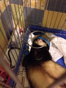 Helmet ferret sleeps with a bowl on her head