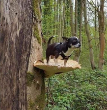 Helpless chihuahua got high on mushrooms