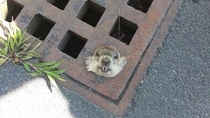 How much wood could a woodchuck chuck if the woodchuck wasnt stuck in a storm drain