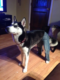 I also put my toddlers jeans on my dog
