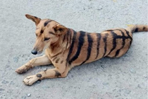 I am selling my tiger for only  He may bark sometimes but thats because he is bilingual