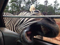I decided to try out a wild animal safari Zebra tried to eat me Never again