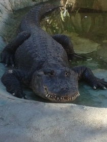 I found a derpy alligator at the zoo