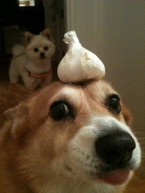 I had nothing planned for my cakeday and then this appeared on my facebook feed enjoy this dog with garlic on its head