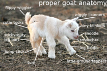 I heard somebody posted the spider anatomy picture again Here Ill give you guys this to take it off your mind again The proper anatomy of a goat