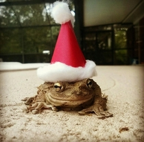 I heard you guys liked frogs in hats so heres my fiancs pet frog Ursula celebrating the holidays