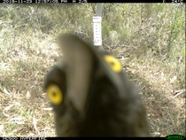 I now have  photos of this one currawong who spend  hrs in front of my camera trap and it somehow worked out how to open the trap Totally ruining my month of data Has anyone heard birds doing this to cameras before