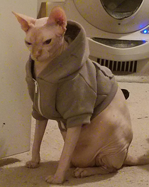 I put a sweatshirt on my cat and now hes asking me if I even lift