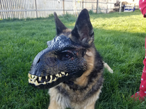 I put my kids indoraptor mask on my GSD shes terrifying