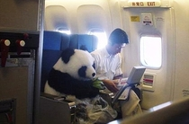 I raise you one first class panda bear