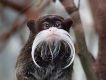 I see your Mustache Bird and raise you a Mustache Monkey