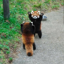 If cornered red panda will stand on its hind legs and extend its claws to appear larger and threatening
