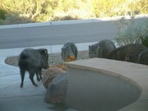 Ill see your moose eating a pumpkin and raise you a pack of javelina enjoying my jack o lantern