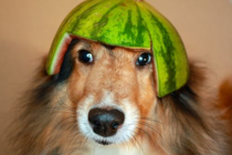 Is anyone else feeling a bitmelon collie