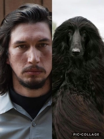 Is it just me or does Adam Driver look like an Afghan Hound