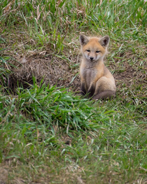 Judgemental fox cub is judging you Stop doing THAT RIGHT NOW