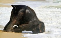 Just a baby elephant having fun at the beach