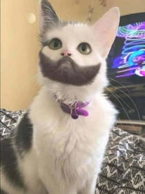 Just a cat with beard