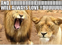 Just a lion singing to his lady