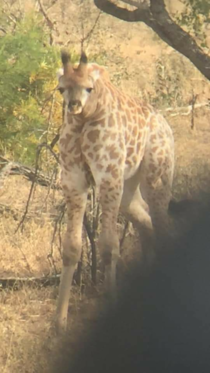 Just a normal giraffe