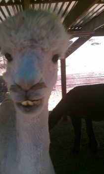 Just met this llama today He was just smashing