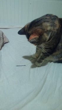 Just started dating a girl after being single for a long time My cat was transfixed by the first sight of a bobby pin