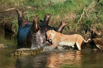 Just your average lion trying to shove a crocdiles head into a hippos butt